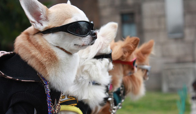 Dogs wearing sunglasses.