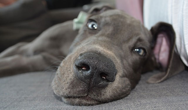 Photo of a Great Dane relaxing.