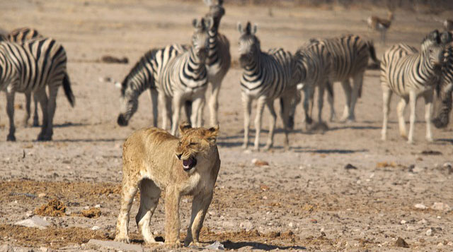 Photo of a lion and a herd of zebras.