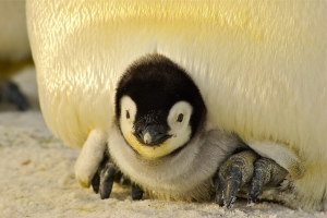 Picture of a baby penguin
