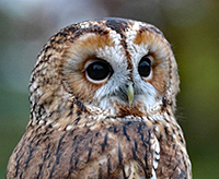 Photo of a barred owl.