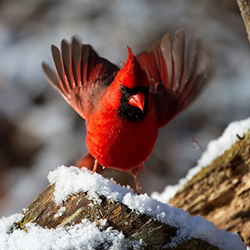 Image of a cardinal in the snow.